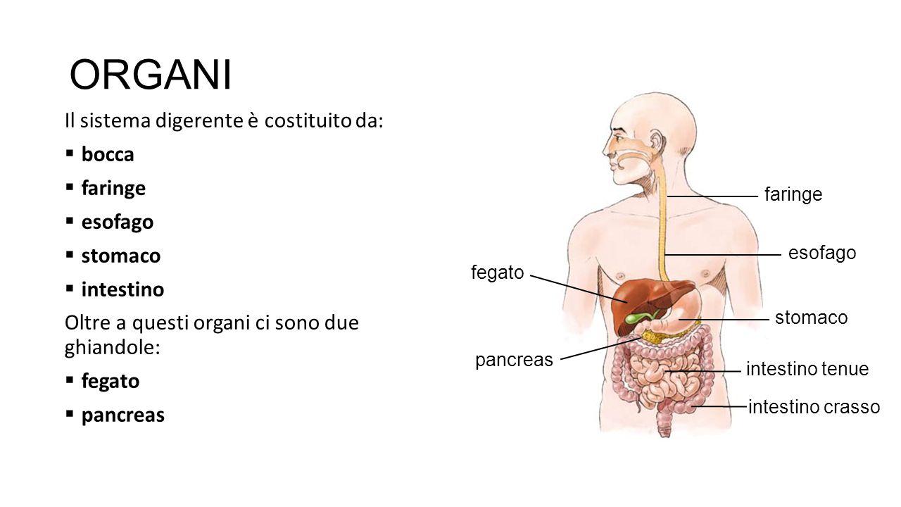 ORGANI Il sistema digerente è costituito da: bocca faringe esofago