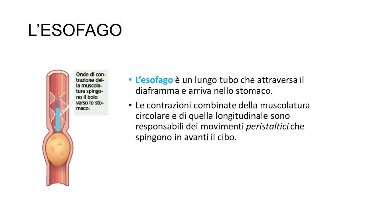 L'ESOFAGO L'esofago è un lungo tubo che attraversa il diaframma e arriva nello stomaco.
