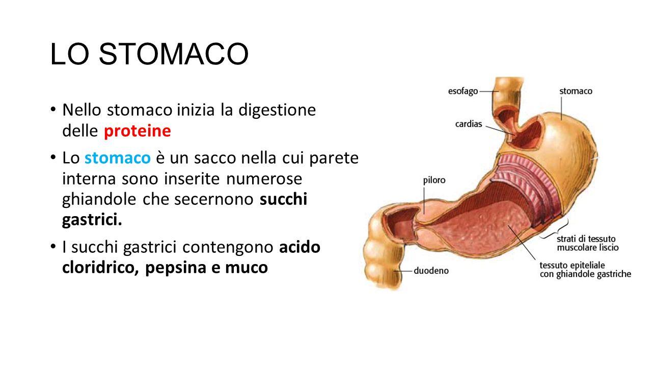 LO STOMACO Nello stomaco inizia la digestione delle proteine