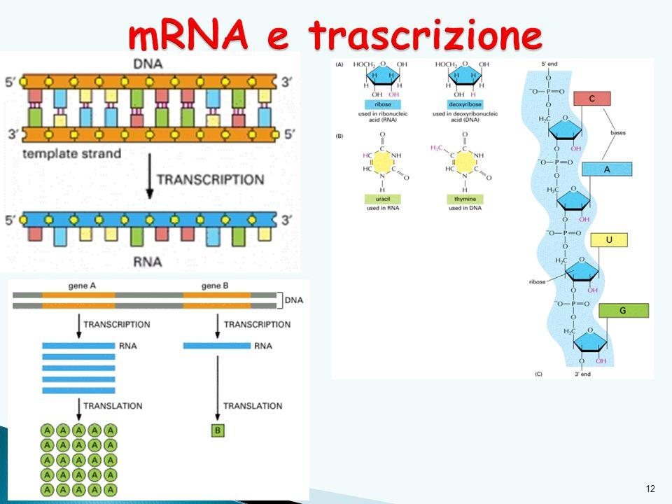 mRNA e trascrizione