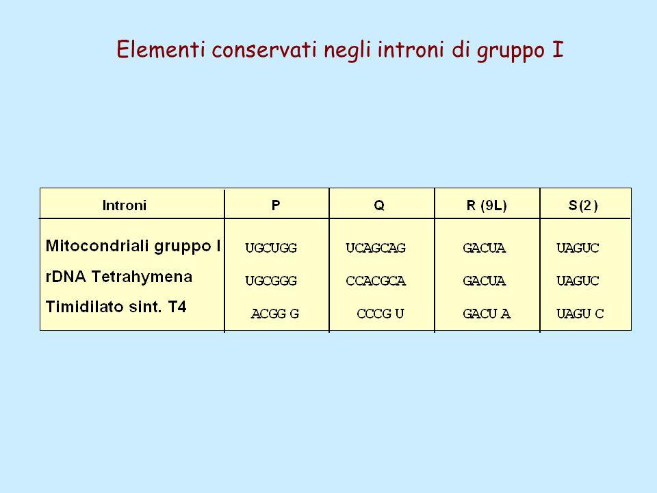 Elementi conservati negli introni di gruppo I