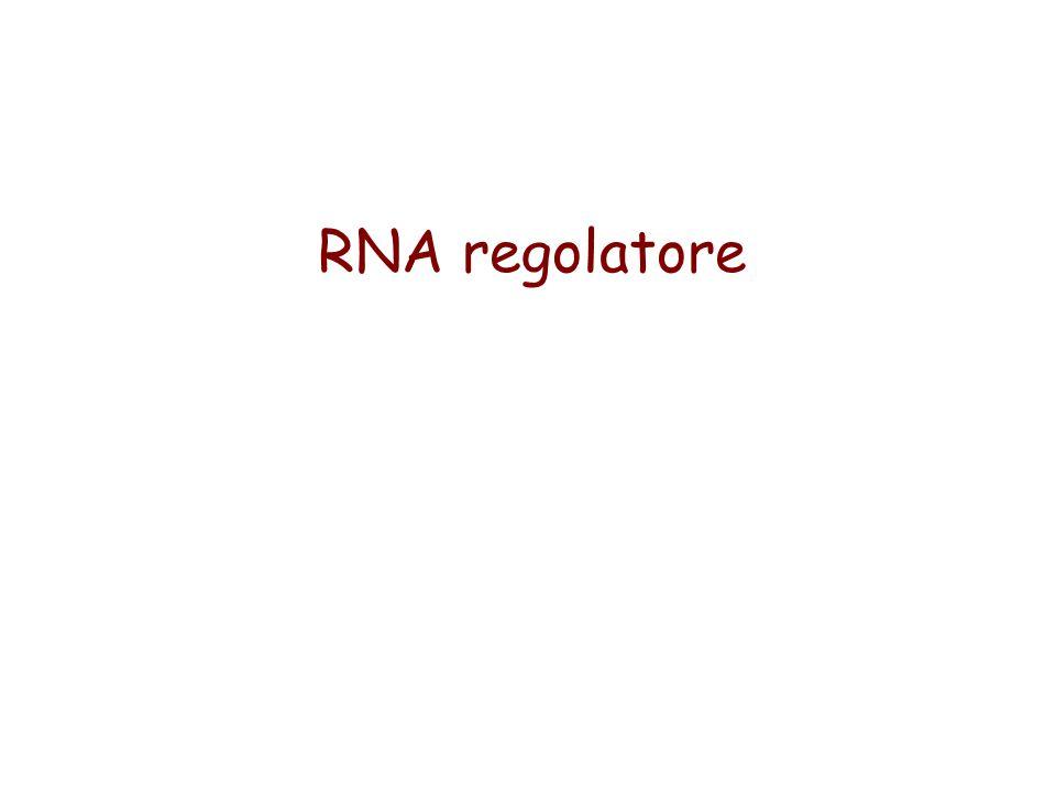 RNA regolatore