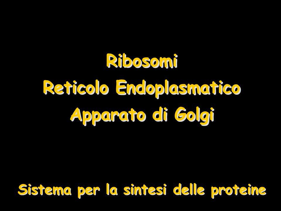 Ribosomi Reticolo Endoplasmatico Apparato di Golgi