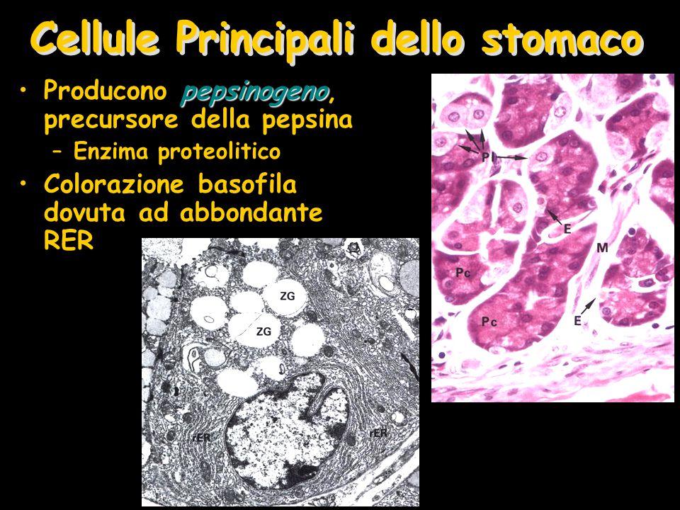 Cellule Principali dello stomaco