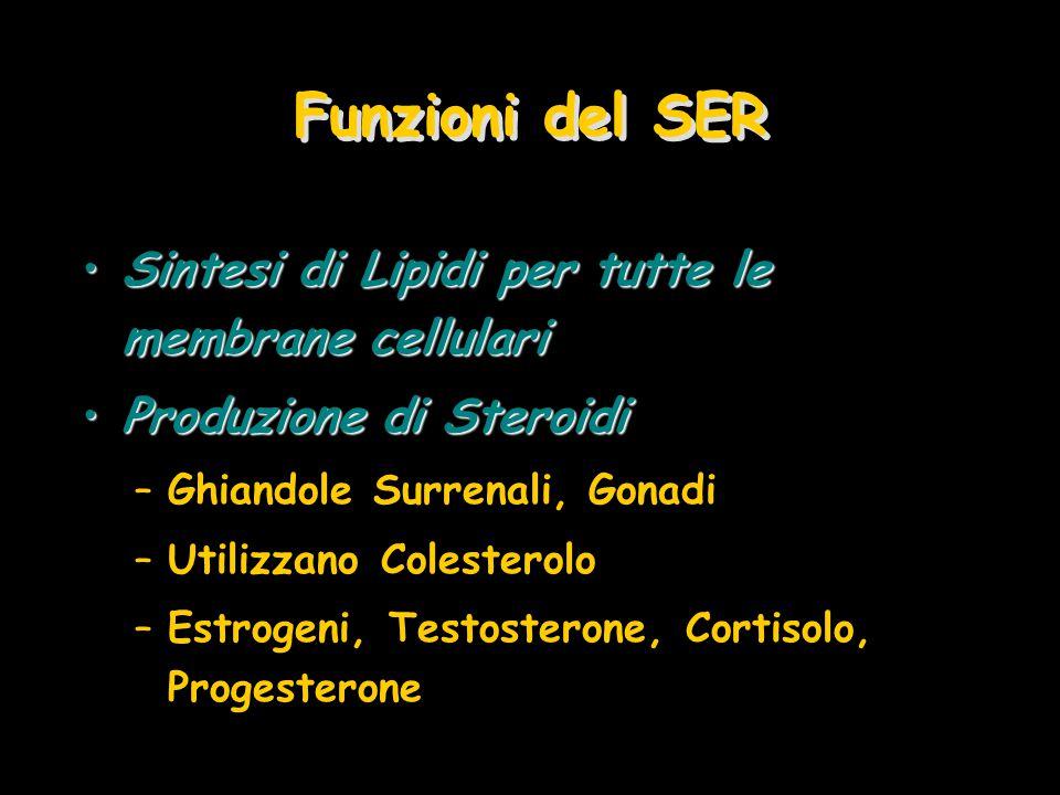 Funzioni del SER Sintesi di Lipidi per tutte le membrane cellulari