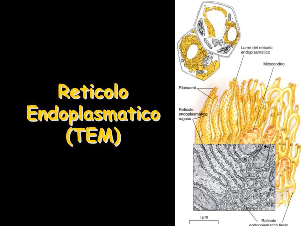 Reticolo Endoplasmatico (TEM)
