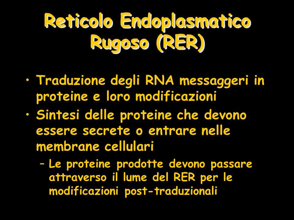 Reticolo Endoplasmatico Rugoso (RER)