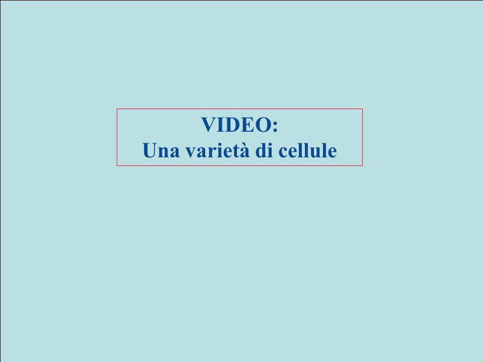 VIDEO: Una varietà di cellule