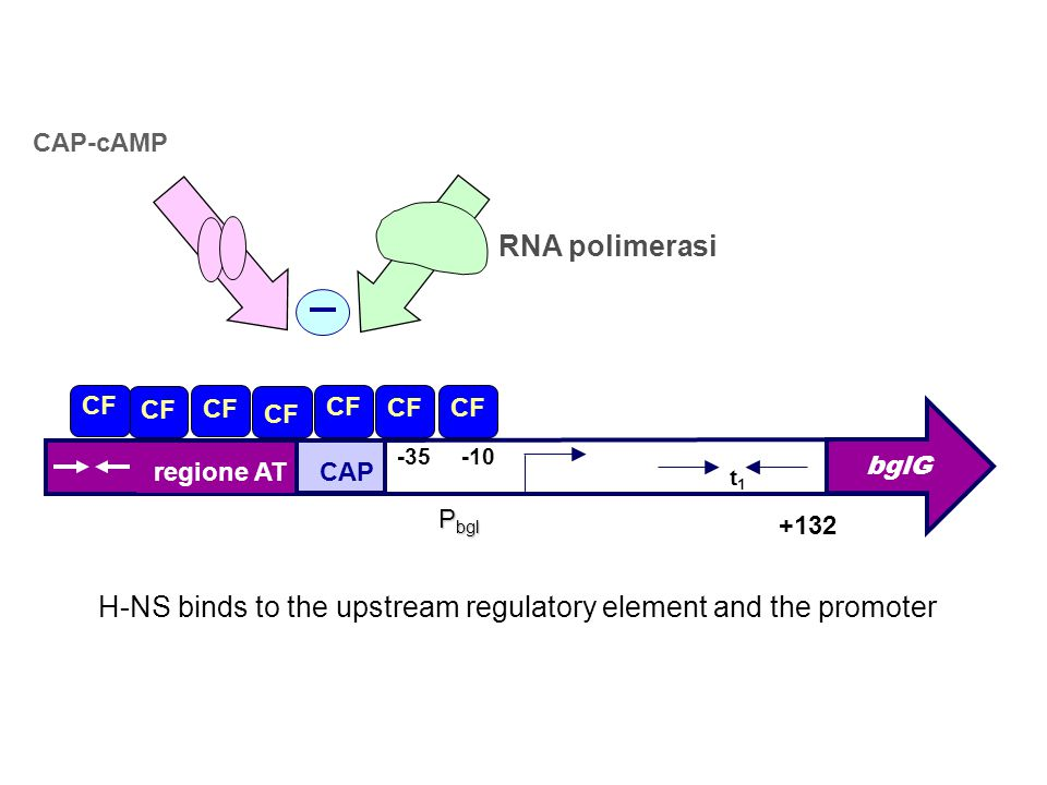 H-NS binds to the upstream regulatory element and the promoter