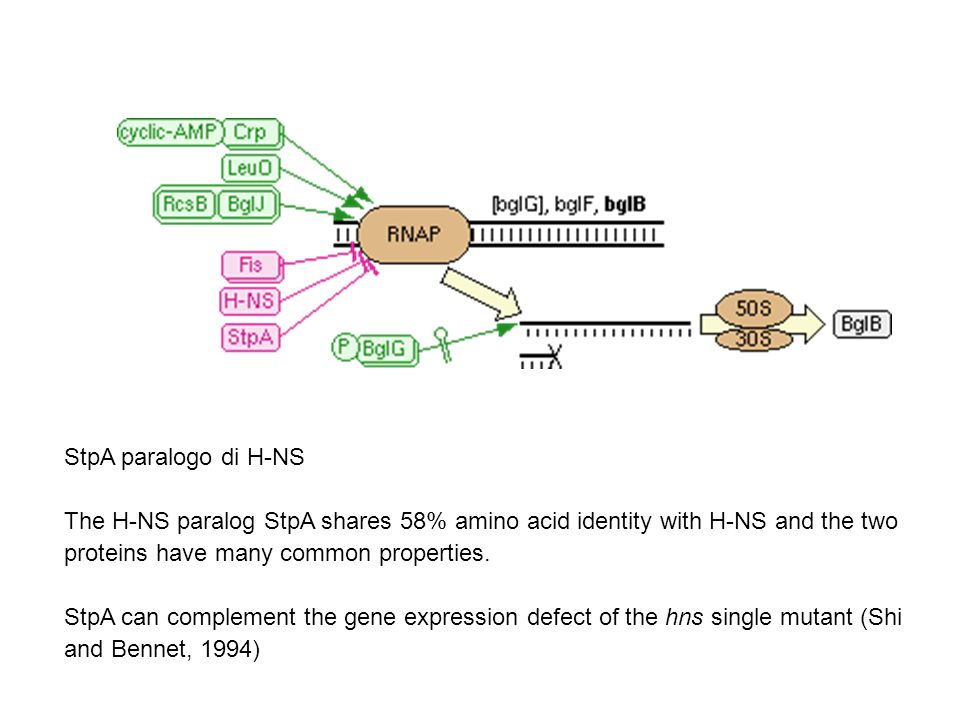 StpA paralogo di H-NS The H-NS paralog StpA shares 58% amino acid identity with H-NS and the two proteins have many common properties.