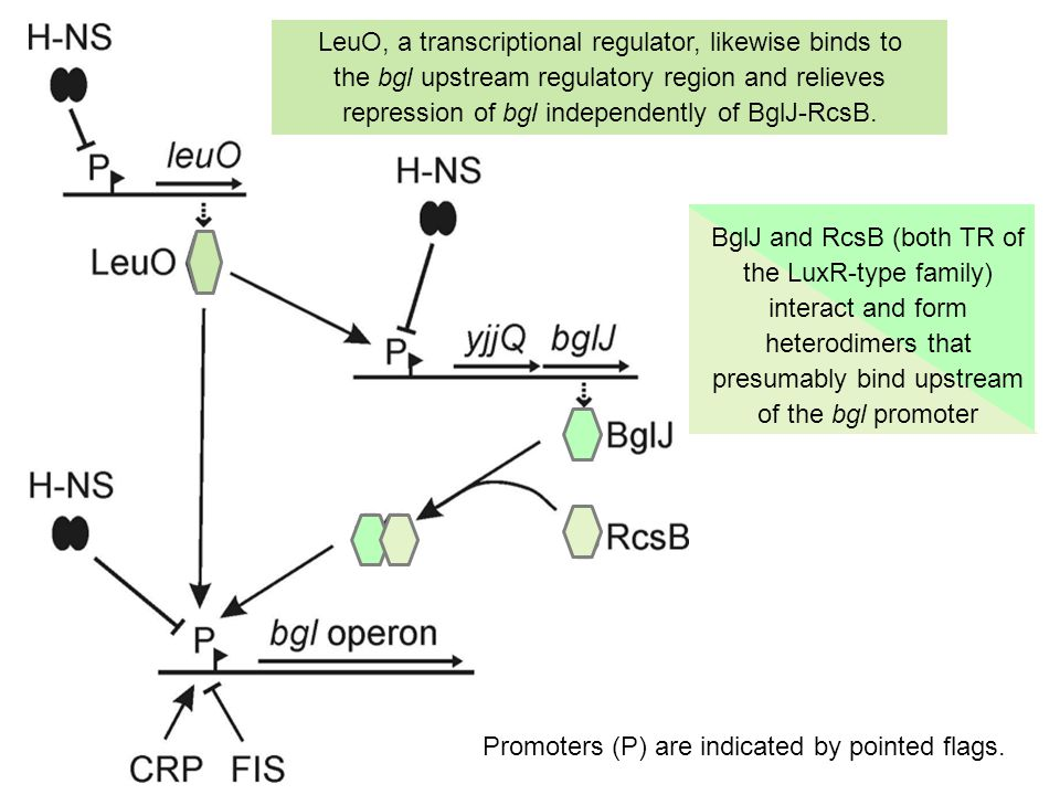 LeuO, a transcriptional regulator, likewise binds to the bgl upstream regulatory region and relieves repression of bgl independently of BglJ-RcsB.