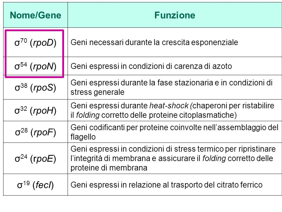Nome/Gene Funzione σ70 (rpoD) σ54 (rpoN) σ38 (rpoS) σ32 (rpoH)