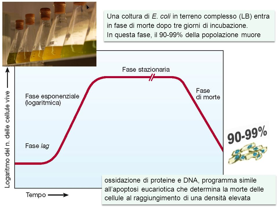 Una coltura di E. coli in terreno complesso (LB) entra in fase di morte dopo tre giorni di incubazione.