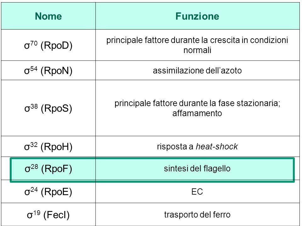 Nome Funzione σ70 (RpoD) σ54 (RpoN) σ38 (RpoS) σ32 (RpoH) σ28 (RpoF)