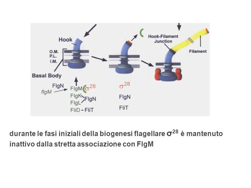 durante le fasi iniziali della biogenesi flagellare σ28 è mantenuto inattivo dalla stretta associazione con FlgM