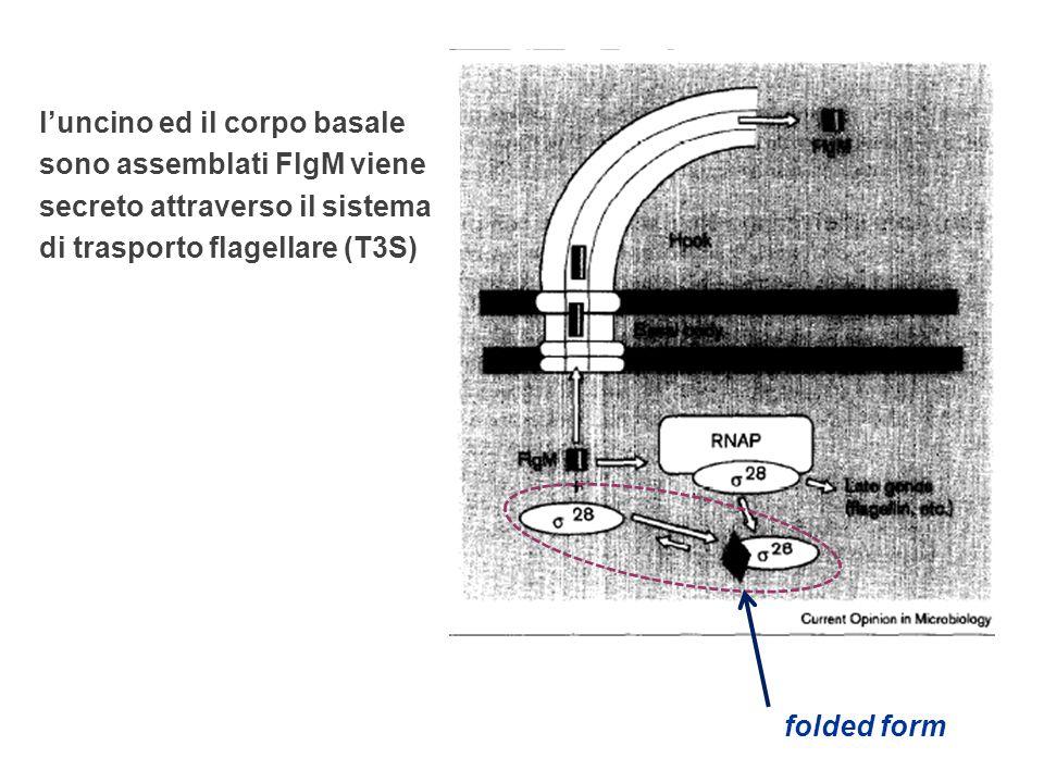 l'uncino ed il corpo basale sono assemblati FlgM viene secreto attraverso il sistema di trasporto flagellare (T3S)