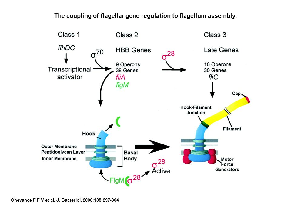 The coupling of flagellar gene regulation to flagellum assembly.