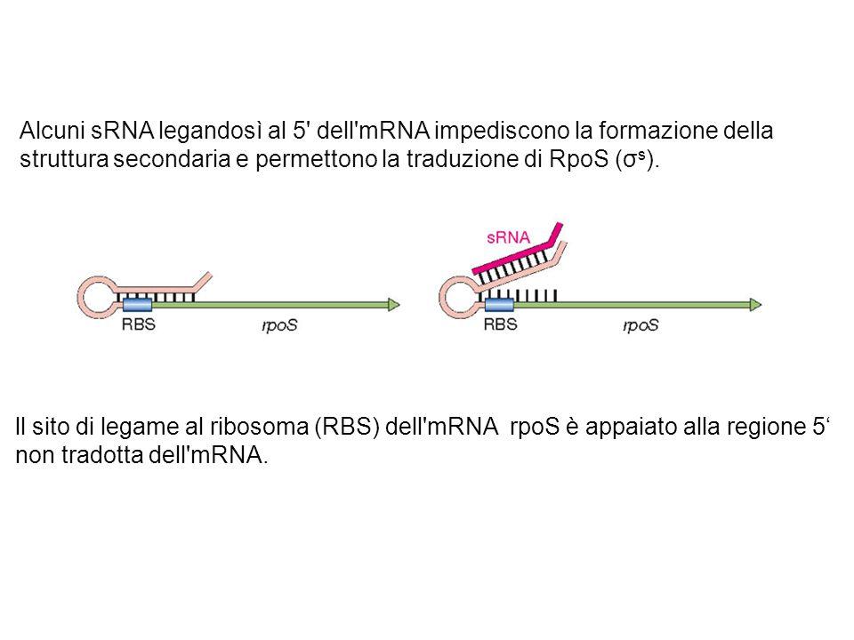 Alcuni sRNA legandosì al 5 dell mRNA impediscono la formazione della struttura secondaria e permettono la traduzione di RpoS (σs).