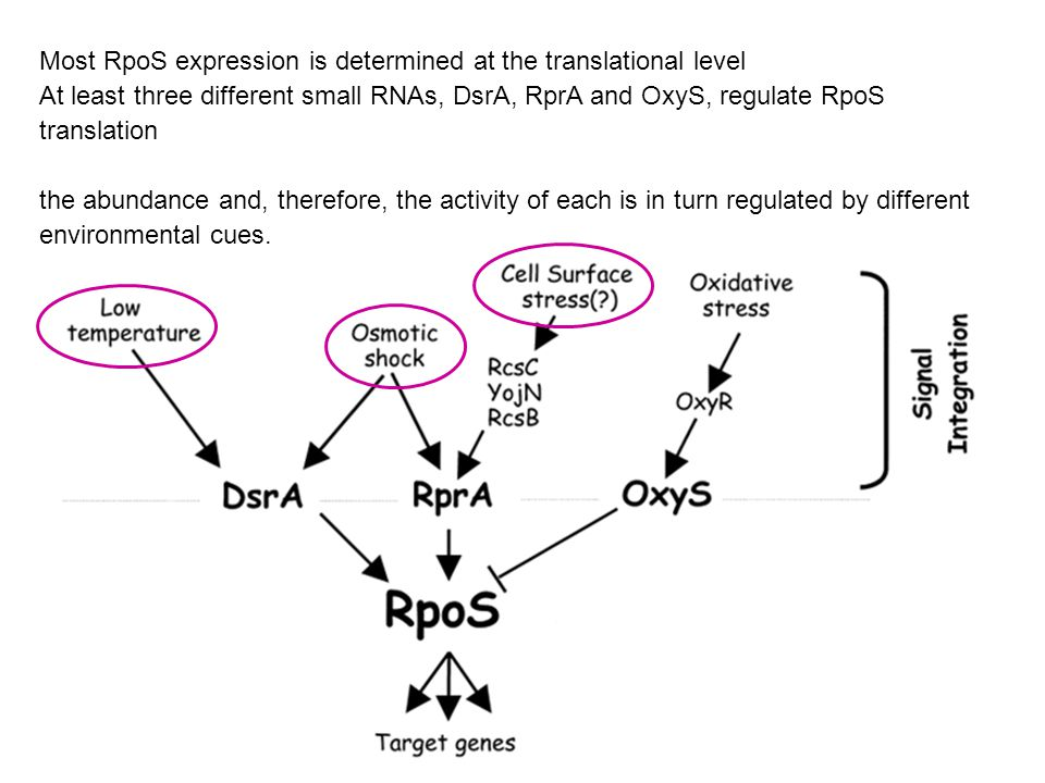 Most RpoS expression is determined at the translational level