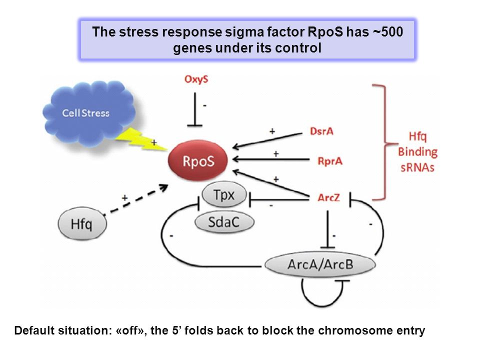 The stress response sigma factor RpoS has ~500 genes under its control