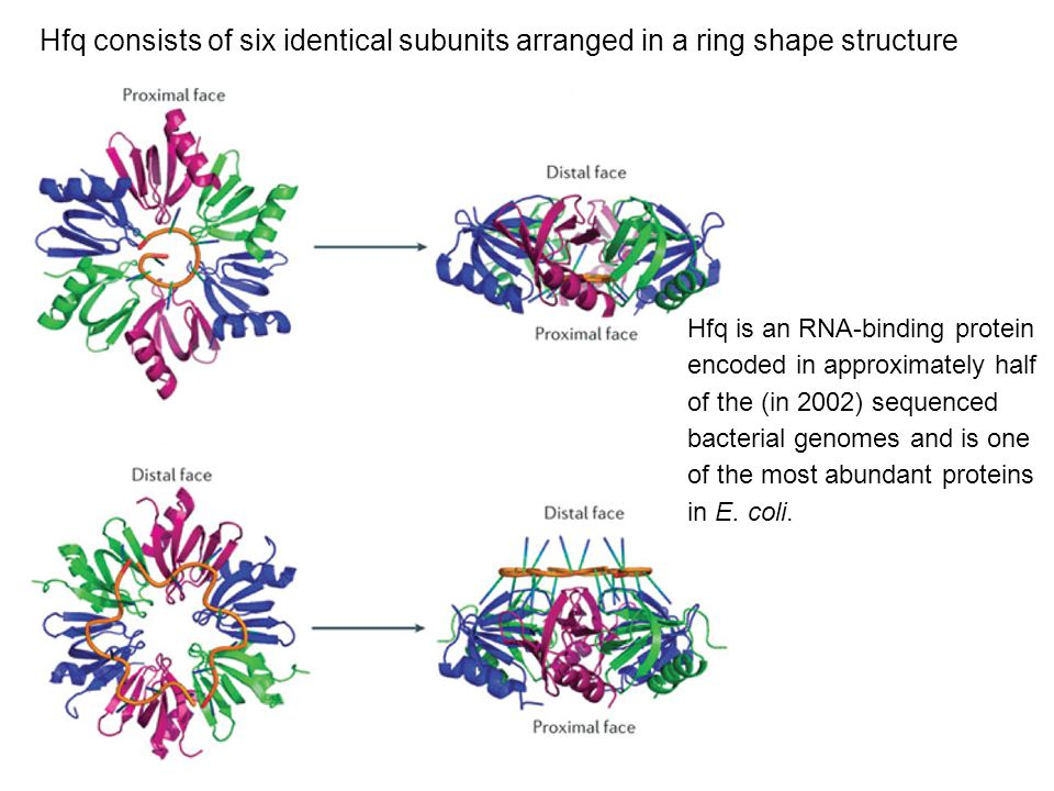 Hfq consists of six identical subunits arranged in a ring shape structure