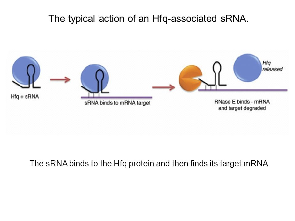 The typical action of an Hfq-associated sRNA.