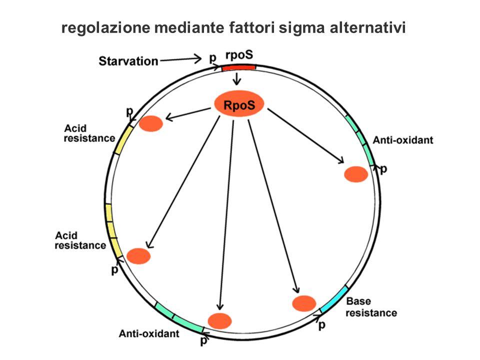 regolazione mediante fattori sigma alternativi