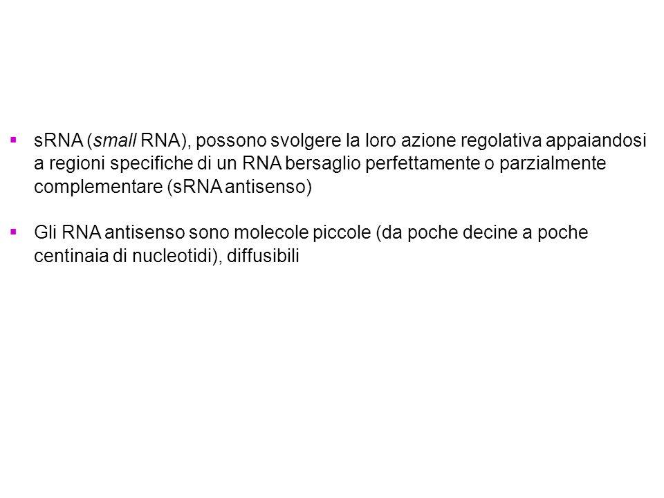 sRNA (small RNA), possono svolgere la loro azione regolativa appaiandosi a regioni specifiche di un RNA bersaglio perfettamente o parzialmente complementare (sRNA antisenso)