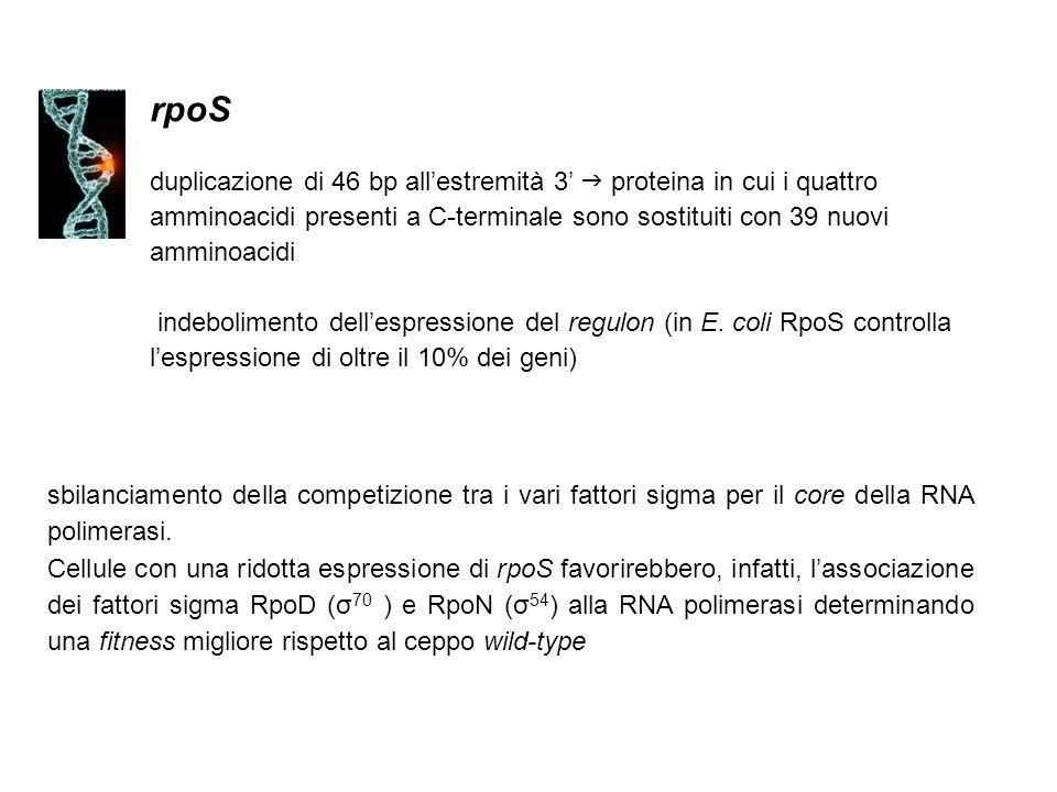 rpoS duplicazione di 46 bp all'estremità 3'  proteina in cui i quattro amminoacidi presenti a C-terminale sono sostituiti con 39 nuovi amminoacidi.