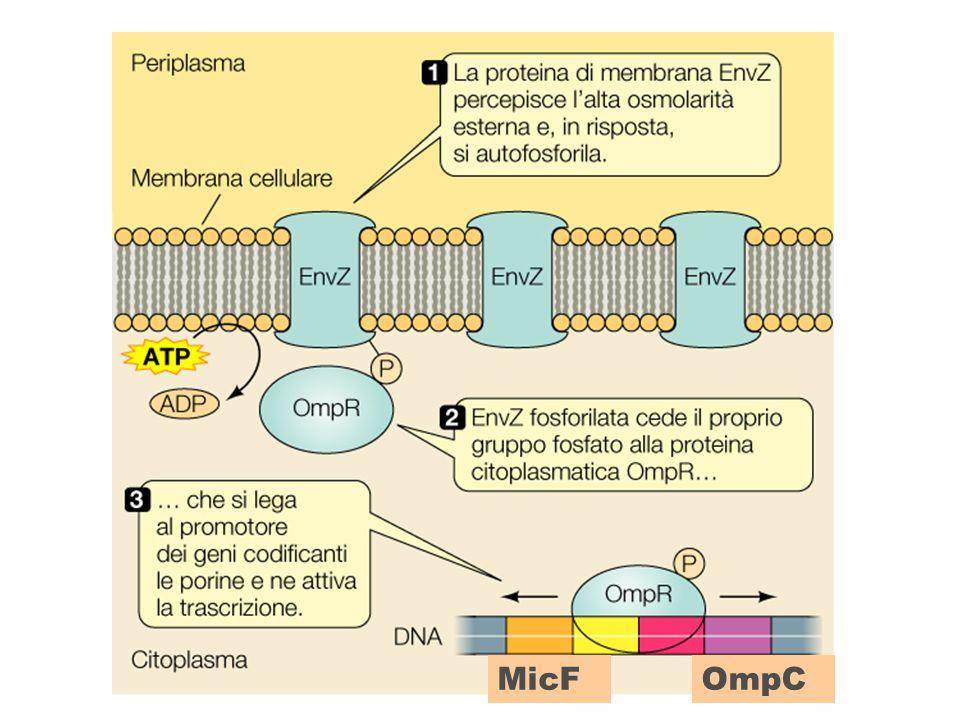 MicF OmpC