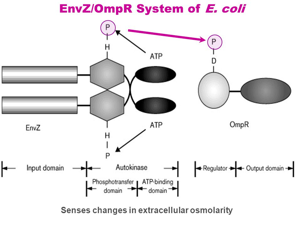Senses changes in extracellular osmolarity