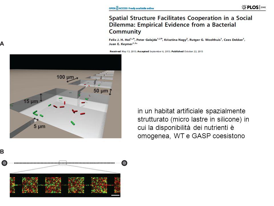 in un habitat artificiale spazialmente strutturato (micro lastre in silicone) in cui la disponibilità dei nutrienti è omogenea, WT e GASP coesistono