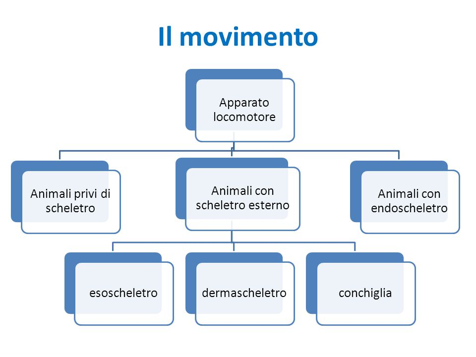 Il movimento Apparato locomotore Animali privi di scheletro