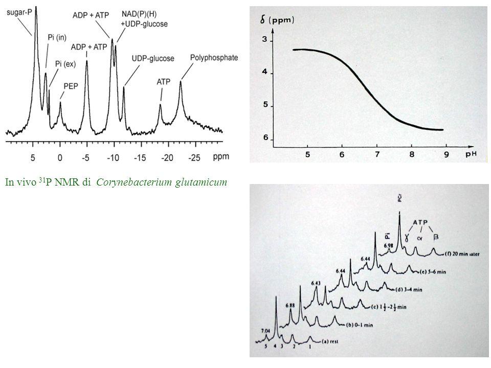 In vivo 31P NMR di Corynebacterium glutamicum