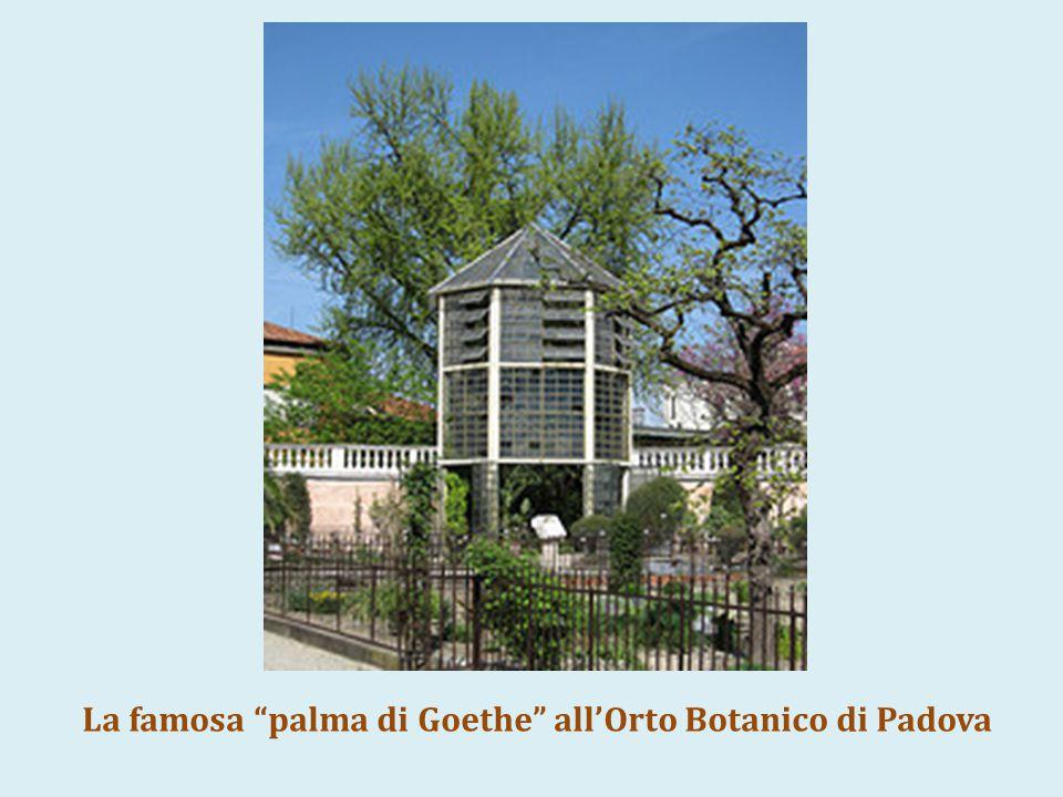 La famosa palma di Goethe all'Orto Botanico di Padova