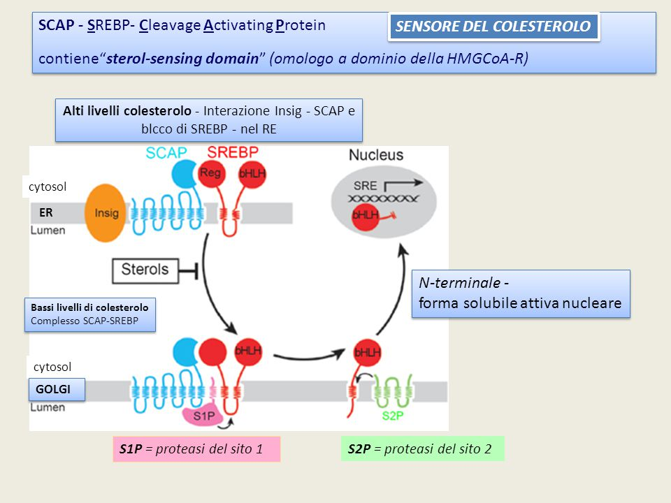 SCAP - SREBP- Cleavage Activating Protein