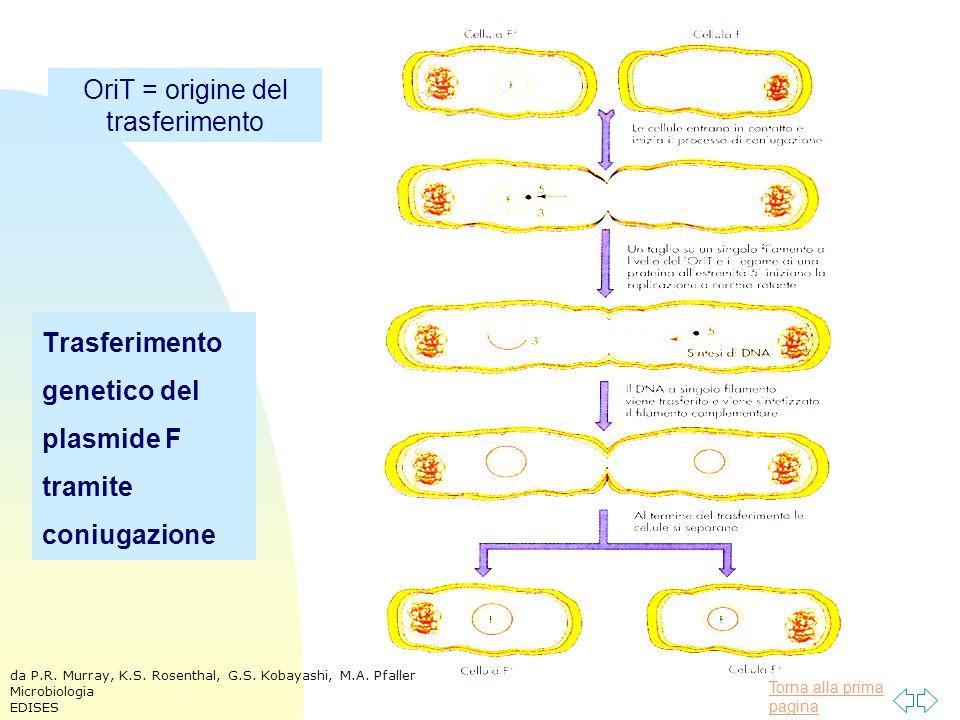 Trasferimento genetico del plasmide F tramite coniugazione