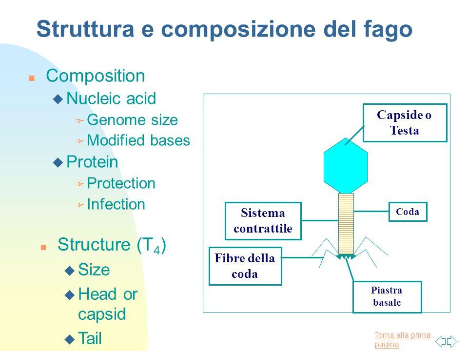 Struttura e composizione del fago