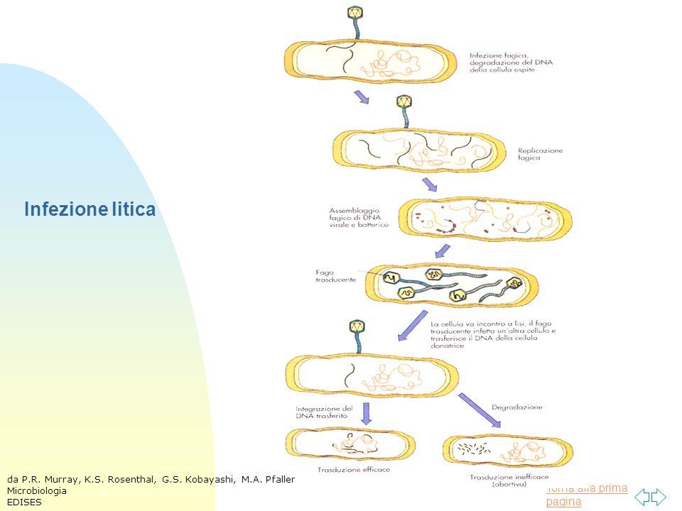 Infezione litica da P.R. Murray, K.S. Rosenthal, G.S. Kobayashi, M.A. Pfaller Microbiologia EDISES