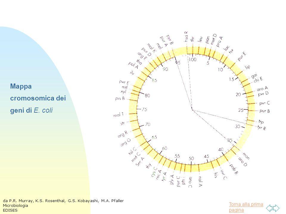Mappa cromosomica dei geni di E. coli