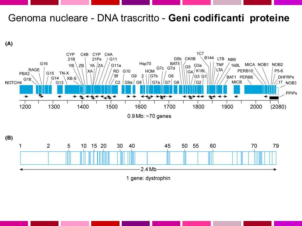 Genoma nucleare - DNA trascritto - Geni codificanti proteine