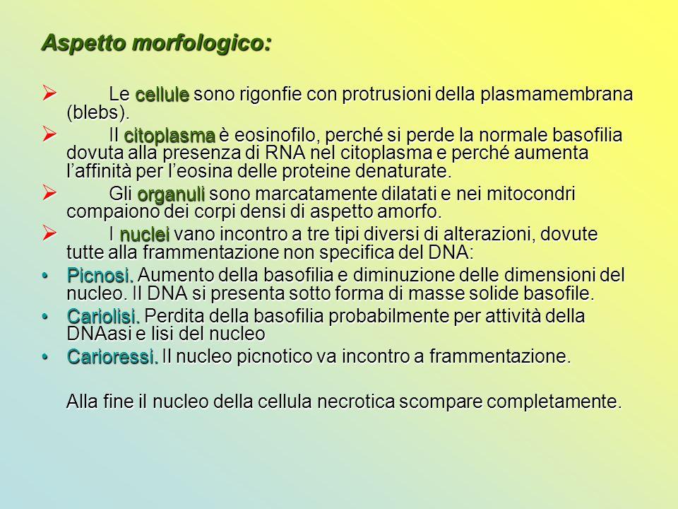 Aspetto morfologico: Le cellule sono rigonfie con protrusioni della plasmamembrana (blebs).