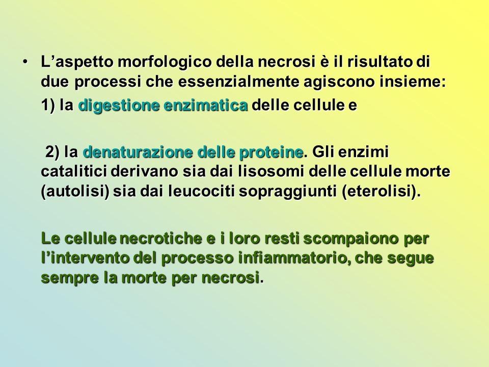 L'aspetto morfologico della necrosi è il risultato di due processi che essenzialmente agiscono insieme: