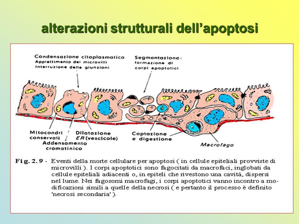 alterazioni strutturali dell'apoptosi