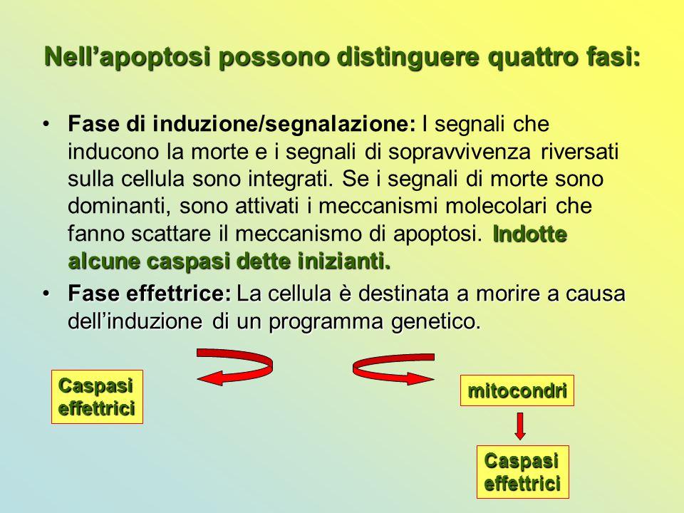 Nell'apoptosi possono distinguere quattro fasi: