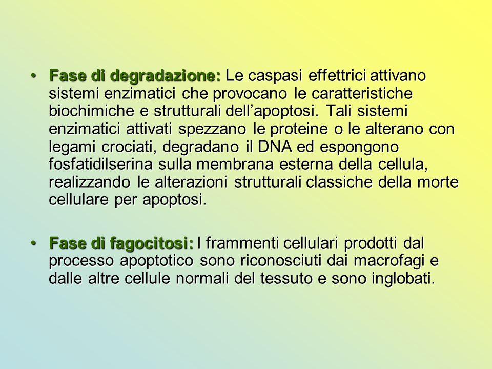 Fase di degradazione: Le caspasi effettrici attivano sistemi enzimatici che provocano le caratteristiche biochimiche e strutturali dell'apoptosi. Tali sistemi enzimatici attivati spezzano le proteine o le alterano con legami crociati, degradano il DNA ed espongono fosfatidilserina sulla membrana esterna della cellula, realizzando le alterazioni strutturali classiche della morte cellulare per apoptosi.