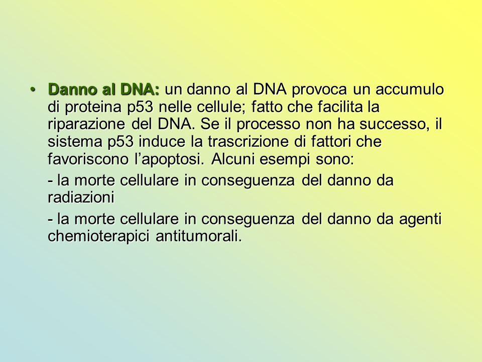 Danno al DNA: un danno al DNA provoca un accumulo di proteina p53 nelle cellule; fatto che facilita la riparazione del DNA. Se il processo non ha successo, il sistema p53 induce la trascrizione di fattori che favoriscono l'apoptosi. Alcuni esempi sono: