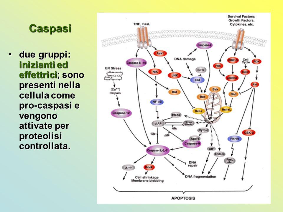 Caspasi due gruppi: inizianti ed effettrici; sono presenti nella cellula come pro-caspasi e vengono attivate per proteolisi controllata.