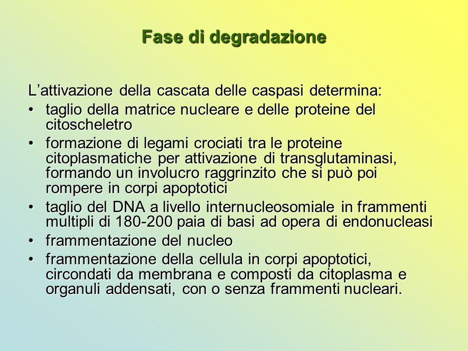 Fase di degradazione L'attivazione della cascata delle caspasi determina: taglio della matrice nucleare e delle proteine del citoscheletro.