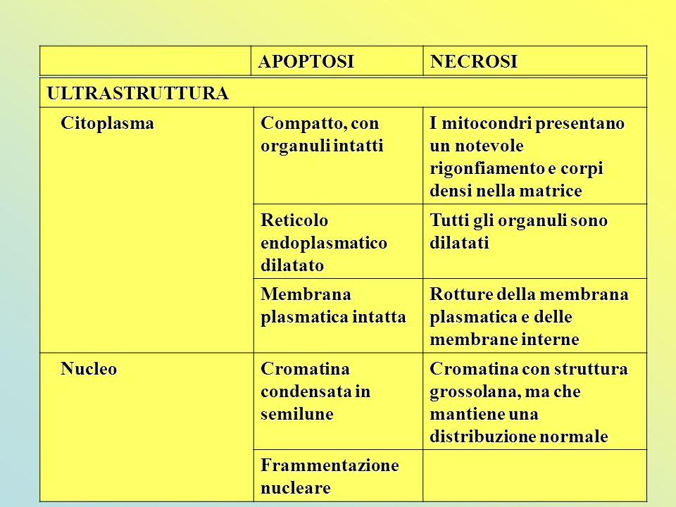 APOPTOSI NECROSI. ULTRASTRUTTURA. Citoplasma. Compatto, con organuli intatti.